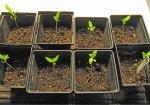 hg seedling 11_28.jpg